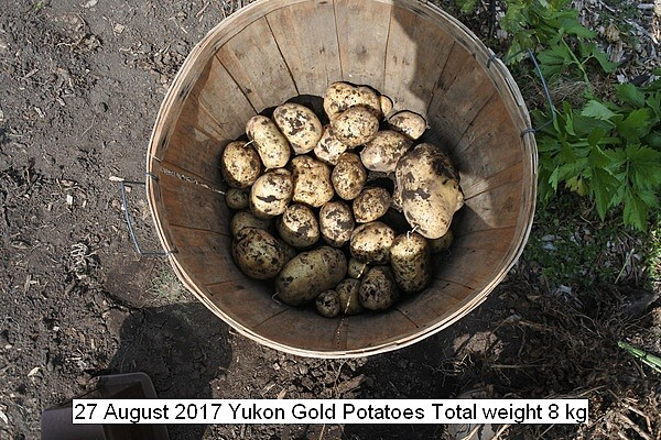 yukon%20gold%20potatoes%20012_std.jpg