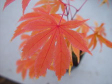 Acer Palmatum Kurabu Yama Ubc Botanical Garden Forums