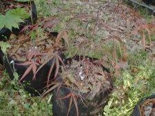 Acer Palmatum Aeken Les Ubc Botanical Garden Forums