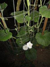 White flower squash leaves ubc botanical garden forums dsc08744g mightylinksfo