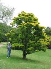 Acer Shirasawanum Aureum Page 2 Ubc Botanical Garden Forums