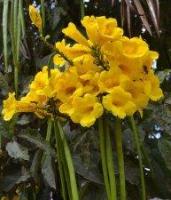 Yellow Trumpet Shaped Tree Flower Ubc Botanical Garden Forums