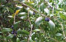elongated blue fruits on tree with opposite leaves ubc botanical