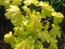 Acer Campestre Postelense Ubc Botanical Garden Forums