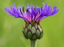 Purple perennial flower identification ubc botanical garden forums purple perennial flowerg mightylinksfo