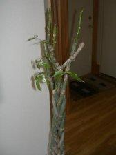 Sick Pachira (Money Tree) HELP PLEASE, IT`S DYING!! | UBC
