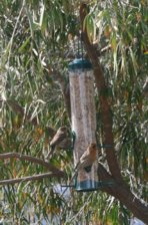 House Finch Couple Feeding