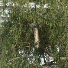 Willow Eucalyptus