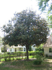 How Do I Prune A Magnolia Tree Pictures Included Ubc Botanical