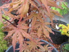 Acer Palmatum Amber Ghost Ubc Botanical Garden Forums
