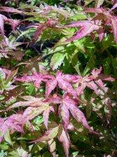Acer Palmatum Beni Tsukasa Ubc Botanical Garden Forums