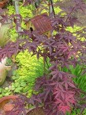 Acer Palmatum Emperor I Ubc Botanical Garden Forums