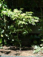 Acer Palmatum Karabu Yama Ubc Botanical Garden Forums