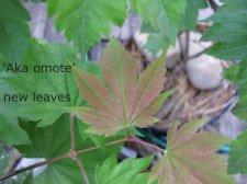 Acer Japonicum Aka Omote Ruby Ubc Botanical Garden Forums