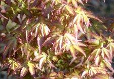Acer Palmatum Komachi Hime Ubc Botanical Garden Forums