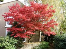 Difference Between Acer Palmatum Bloodgood And Atropurpureum