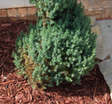 HELP Spiral Blue Point Juniper browning! | UBC Botanical Garden Forums