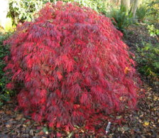 Any Tips On Pruning A Japanese Maple Tree Ubc Botanical Garden Forums