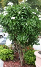 Please identify this white flowering small tree south florida img2198g mightylinksfo