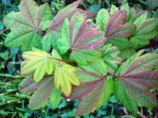 Appreciation Acer Circinatum Burgundy Jewel Ubc Botanical