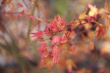 Acer palmatum 'Ilarian' | UBC Botanical Garden Forums