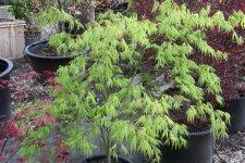 Acer Palmatum Killarney Ubc Botanical Garden Forums
