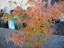 Acer Palmatum Seigai Ubc Botanical Garden Forums