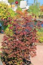 Acer Circinatum Burgundy Jewel Ubc Botanical Garden Forums