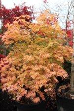 Acer Palmatum Sister Ghost Ubc Botanical Garden Forums