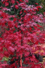 Acer Palmatum Red Baron Ubc Botanical Garden Forums