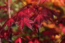 Acer Palmatum Margaret Bee Ubc Botanical Garden Forums