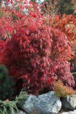 Acer Palmatum Autumn Fire Ubc Botanical Garden Forums