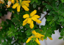 Name Of This Large Bush With Yellow Flowers Ubc Botanical Garden