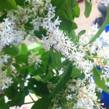 Shrub Identification Ubc Botanical Garden Forums