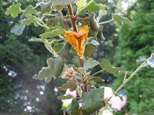 In the garden tree with yellow hanging flowers ubc botanical yellow flower tree 011g mightylinksfo