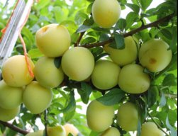 Many_figstree