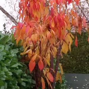 Amanagowa Cherry Tree in Autumn